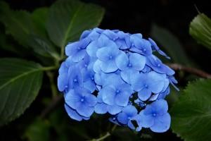 blue-flower-2581935_960_720